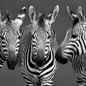 Zebra Trio B&W by Shawn Thomas - Black & White Animals (  )