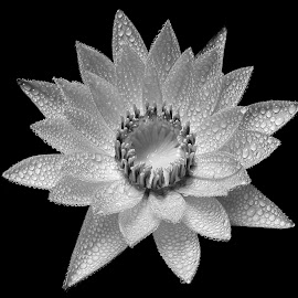 Waterlily  by Asif Bora - Black & White Flowers & Plants (  )