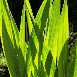 Gladiola Leaves Aglow in the Morning Sunlight by Candace Penney - Nature Up Close Leaves & Grasses ( bright, green, leaves, sunlit, shadows )