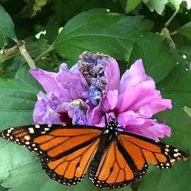 Monarch Butterflies are everywhere!! by Ginny Serio - Instagram & Mobile iPhone