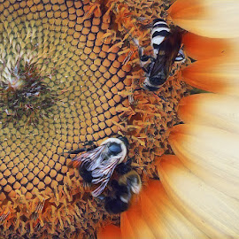 Faceoff  by Teresa Solesbee - Nature Up Close Other plants ( nature up close, summer, sunflower, bees )
