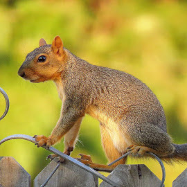 Young squirrel hanging out by Carol O'Connor - Animals Other Mammals