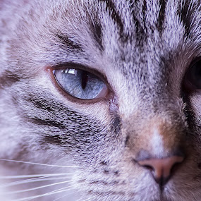 by Massimo Izzo - Animals - Cats Portraits ( face, kitten, cat, ice, eyes )