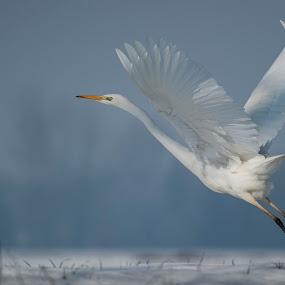 White angel by Riccardo Trevisani - Animals Birds ( white, heron )