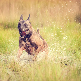 Nina by Wilma Heuvel - Animals - Dogs Running ( maashorst, dogs, honden, `mallinois, dog, mechelse herder, netherlands, hunde, animal )