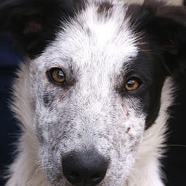Cutie Pie! by Chrissie Barrow - Animals - Dogs Portraits ( border collie, pet, male, pup, fur, puppy, dog, nose, black, portrait, white., eyes )