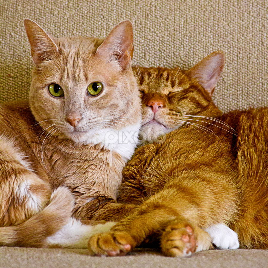 by SumPics Photography - Animals - Cats Portraits ( orange, resting, couch, nap, sleeping, tabby, eyes )