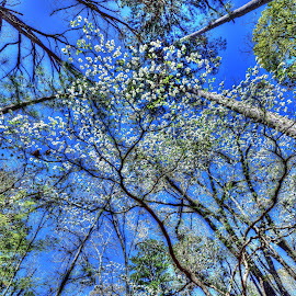 Beneath The Dogwood by Kent Moody - Landscapes Forests ( dogwood, blue sky, blooms, forest, spring,  )