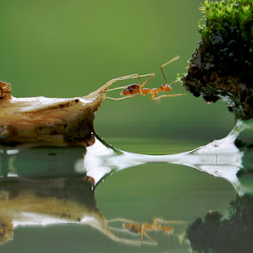 The Cross by Teguh Santosa - Animals Insects & Spiders ( macro, reflection, ant )