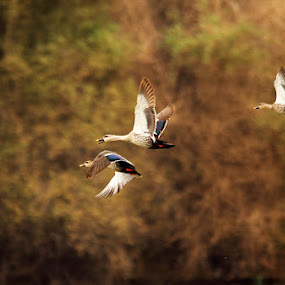 Flights of fantasy... by BhanuKiran BK - Landscapes Prairies, Meadows & Fields ( spot billed duck flight,  )