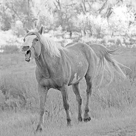 I got too close. by Randy LaMora - Animals Horses (  )