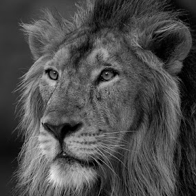 Portrait of a King by Masood Hussain - Animals Lions, Tigers & Big Cats ( cats, lion, big cats, nature, jungle, wildlife, forest, king, portrait )