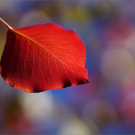 red leaf by Zdenka Rosecka - Nature Up Close Leaves & Grasses