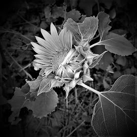 Opening sunflower in black and white by Mary Gallo - Black & White Flowers & Plants ( budding sunflower, nature, nature up close, garden flower, black and white, sunflower, flower,  )