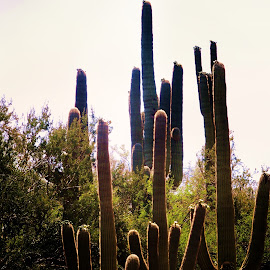 by Stacey Brooks - Landscapes Deserts ( desert, castus, family, sunrise, together )