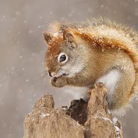 Snow storm by Mircea Costina - Animals Other Mammals ( animals, winter, canada, snow, flakes, qute, wildlife, storm, snowing, squirrel )