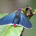 fire tail skipper butterfly