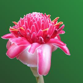 by Steve Tharp - Flowers Single Flower