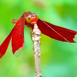 Red  by Asif Bora - Animals Insects & Spiders