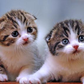 Scottish Kitten by Cacang Effendi - Animals - Cats Kittens ( cats, cattery, kitten, chandra, animal, pwc84, baby, young )
