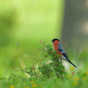 Domherre  by Michael Pelz - Animals Birds