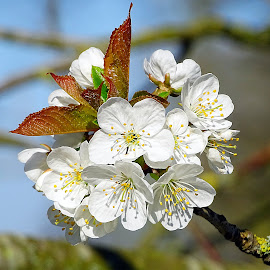 Wild cherry by Cliff Oakley - Flowers Flowers in the Wild ( spring, hampshire, flowers, environment, nature, uk, countryside, wild flowers, wild, wildlife )