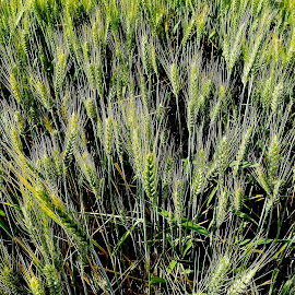 Wheat fields. by Denton Thaves - Landscapes Prairies, Meadows & Fields ( agriculture )