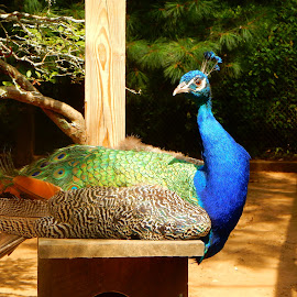 Peacock by Kristine Nicholas - Novices Only Wildlife ( farm, bird, colorful, feathers, animal )
