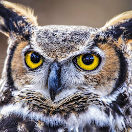 Intense Eyes by Carol Plummer - Animals Birds