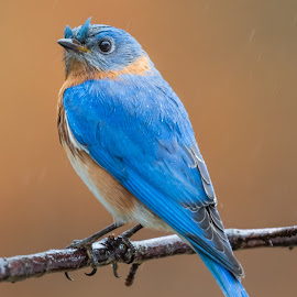 Eastern Bluebird by Carl Albro - Animals Birds ( bird, bluebird, branch )