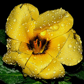 yellow by Hafiz Ursa - Nature Up Close Gardens & Produce ( water, wild flower, water drops, flower with grean leaf, black wallpaper, green leaf, yellow, solid wallpaper, 50.0mm, nikon d3100, single flower, beautiful wallpaper yellow flower, nikon )