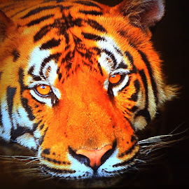 by Paula Muñoz - Animals Lions, Tigers & Big Cats