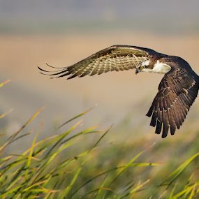 Osprey by Phoo (mallardg500) Chan - Animals Birds ( osprey )