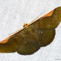 Hubner's Olive Moth