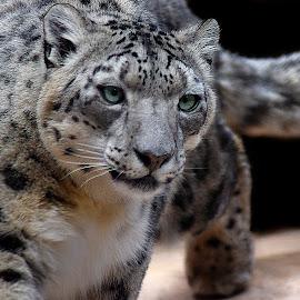 Snow Leopard Dances by Shawn Thomas - Animals Lions, Tigers & Big Cats ( cat, wildlife, feline, leopard, snow leopard )