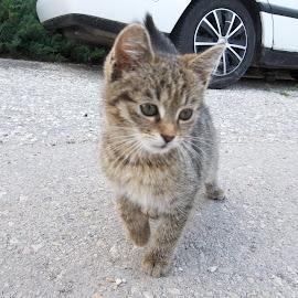 Коте by Georgi Kolev - Animals - Cats Kittens ( слънце., кола., път., коте., ден. )