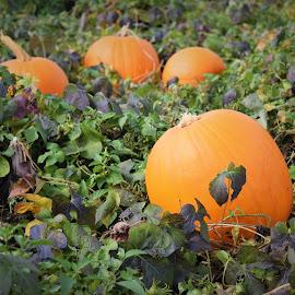 Pumpkin Pickin' by Lorna Littrell - Public Holidays Halloween ( orange, halloween. pumpkins, nature, autumn, garden )