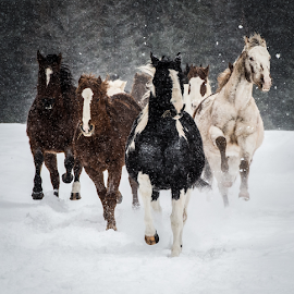 Charging Horses by John Klingel - Animals Horses ( horses, snow, charging )