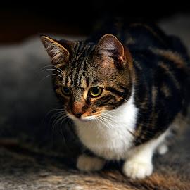 toby by Gjunior Photographer - Animals - Cats Kittens ( kitten, cat )