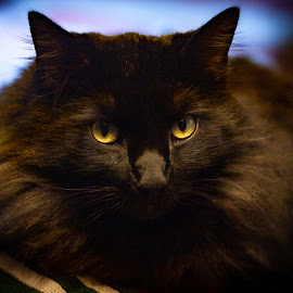 Severus #3 by Mary Phelps - Animals - Cats Portraits ( cats, cat, black, portrait, canon,  )