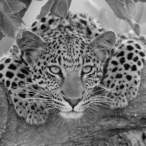 Pretty leopard by Anthony Goldman - Black & White Animals ( big cat, wild, predator, south africa., tree, female, wildlife, londolozi, cub, lepard,  )