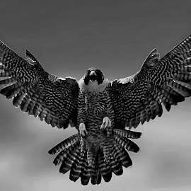 by Bruce Newman - Black & White Animals ( bird of prey, nature, black and white, action, dramatic )