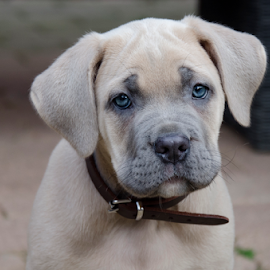 Cane Corso Pup by Veauteaux NV - Animals - Dogs Puppies ( cane corso pup, molosser pup, molosser breed, blue eyes, dog portrait, puppy, cane corso, dog, puppy portrait, eyes,  )