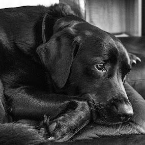 What Next? by Meeta Thakur - Animals - Dogs Portraits ( pose, wait, labrador, photography, black, animal,  )