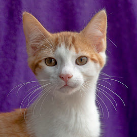 Ginger stare by Jess van Putten - Animals - Cats Portraits ( cat, ginger, wiskers, kitty, animal )