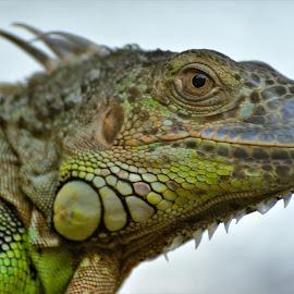 by Karel Kotrč - Animals Reptiles ( hunter, scales, green, dark, eyes )