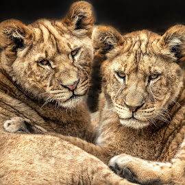by Dennis Bartsch - Animals Lions, Tigers & Big Cats