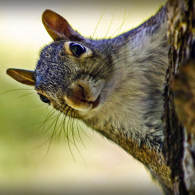 Hi There! by Even Steven - Animals Other Mammals ( critter, tree, park, common, whiskers, nuts, hi, cute, close up, squirrel )
