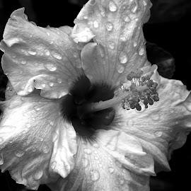 Hibiscus  by Asif Bora - Black & White Flowers & Plants