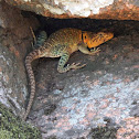 Common Collared Lizard